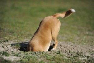 dog-digging_5